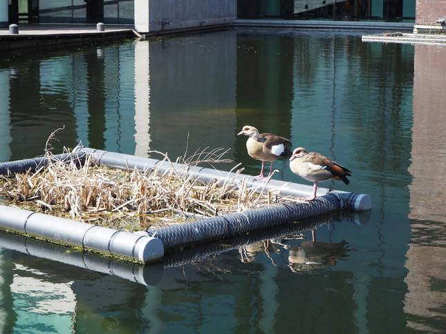 Twee nijlganzen in de vijver voor het Nieuwe Instituut in Rotterdam. Credits: Anne van Kessel voor gebruik op NEMO Kennislink