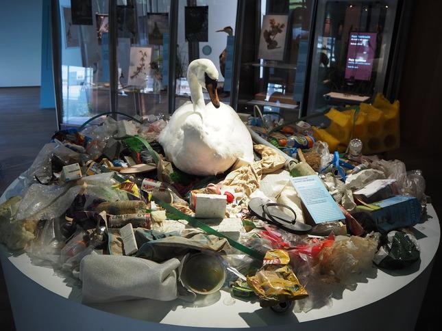 Deze knobbelzwaan maakte haar stadsnest geheel uit afval. De zwaan is te zien in de tentoonstelling Pure Veerkracht in Het Natuurhistorisch. Credits: Anne van Kessel voor gebruik op Nemo Kennislink via CC BY-NC-ND 2.0