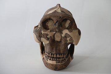 Paranthropus boisei had een plat gezicht, een klein brein en liep op twee voeten. Credits: Louise Walsh, University of Cambridge