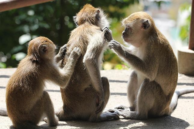 """""""Een OK is een microkosmos van primatengedrag"""", zegt Frans de Waal.  Pixabay via CC0"""