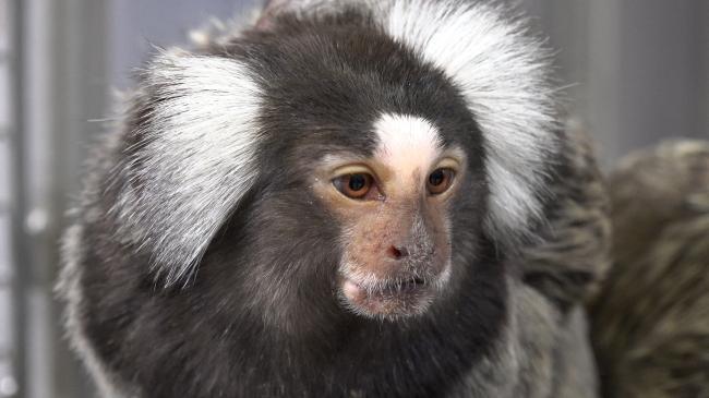 Het BPRC heeft drie apensoorten. Marmosets zijn de kleinste soort en komen uit Zuid-Amerika. Credits: BPRC voor gebruik op NEMO Kennislink